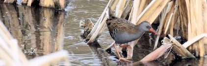 The over-wintering Water Rail ( photo take 19/12/2017)